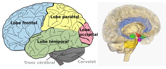 (via Pixelmator) Structure et organisation du cortex cérébral - Cerveau humain - Wikipédia
