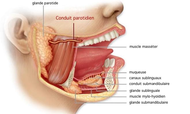 (via Pixelmator) Anatomie des glandes salivaires - IEFGS