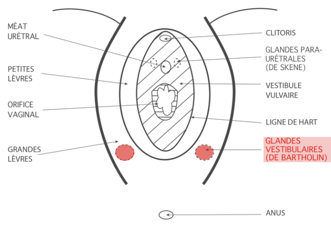 (via Pixelmator) Les glandes vestibulaires - Google Images