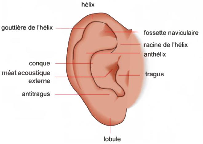 (via Pixelmator) Pavillon de l'oreille - Le Dictionnaire VISUEL