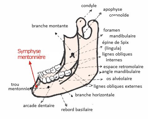 Symphyse mentonnière - CONSEIL DENTAIRE