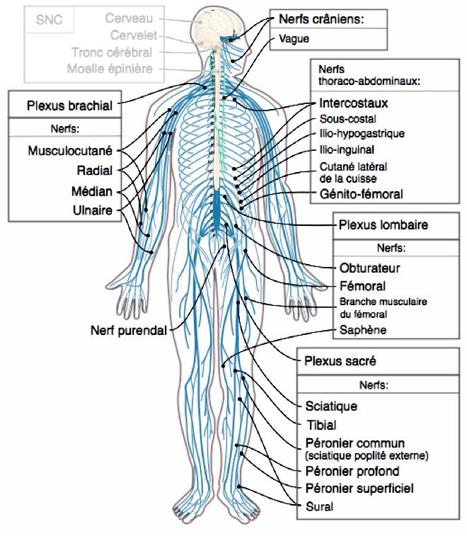 Schéma du système nerveux avec le système nerveux périphérique en bleu et le système nerveux central en rouge - Medium69, Jmarchn - Wikimedia Commons