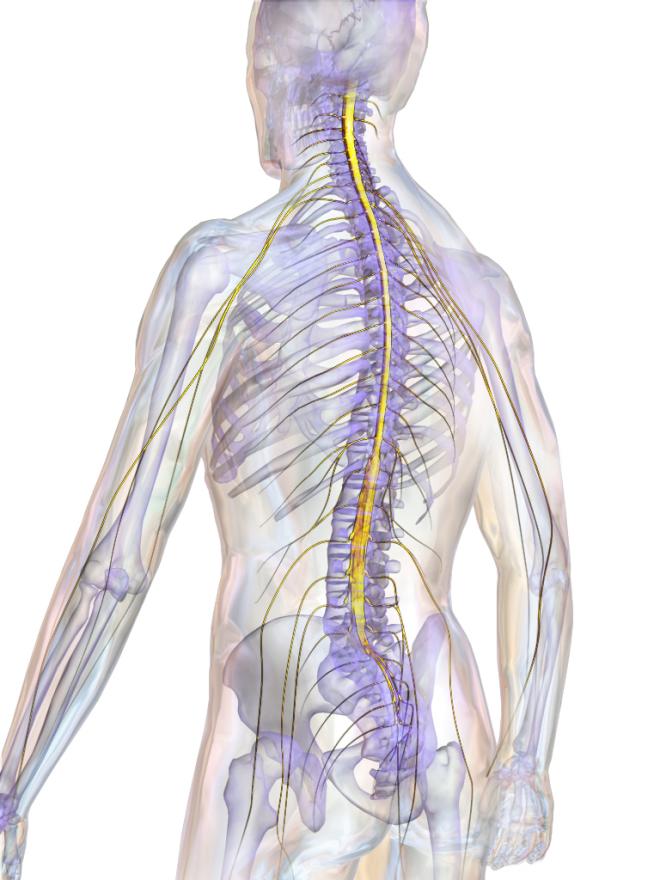Schéma de la situation de la moelle spinale dans le canal vertébral - BruceBlaus - Wikimedia Commons