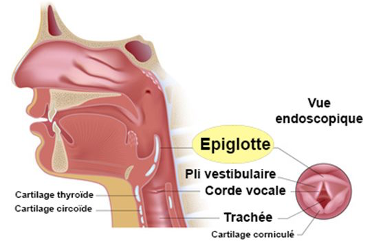 (via Pixelmator) ÉPIGLOTTE - Anatomie du larynx - docteurclic