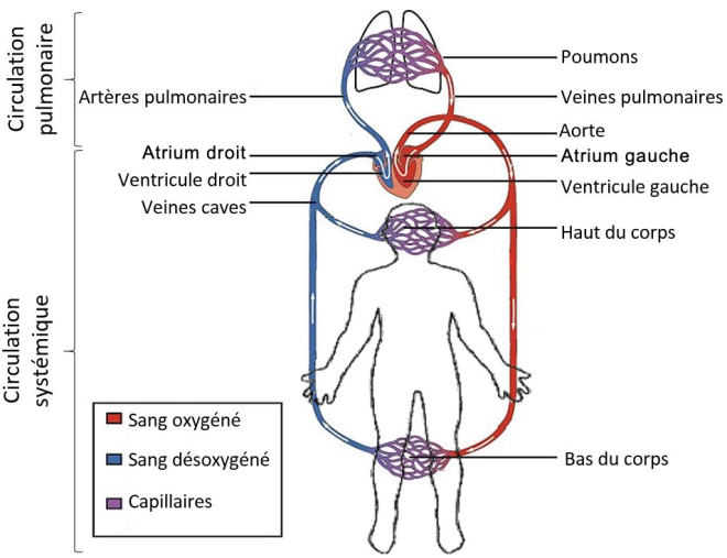 (via Pixelmator) Les circulations systémique et pulmonaire (grande et petite circulations) - SCIENCE ET TECHNOLOGIE - alloprof.qc.ca