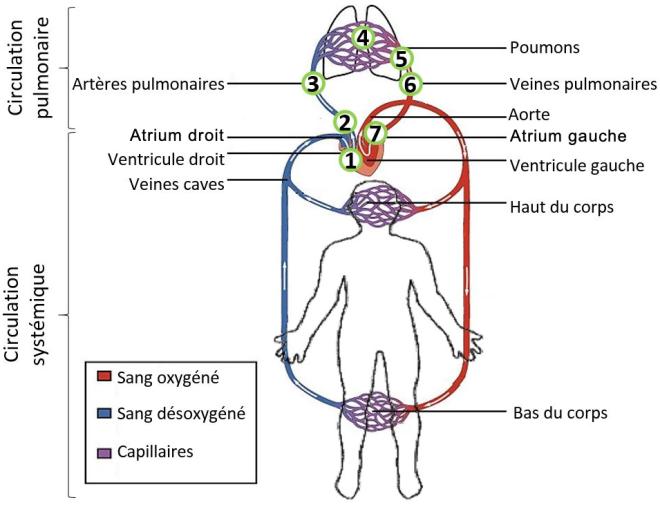 (via Pixelmator) La circulation pulmonaire - Les circulations systémique et pulmonaire (grande et petite circulations) - SCIENCE ET TECHNOLOGIE - alloprof.qc.ca