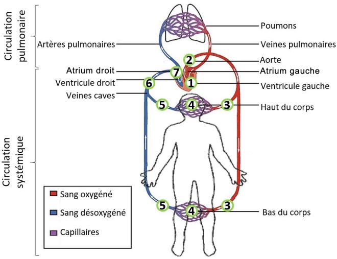 (via Pixelmator) La circulation systémique - Les circulations systémique et pulmonaire (grande et petite circulations) - SCIENCE ET TECHNOLOGIE - alloprof.qc.ca