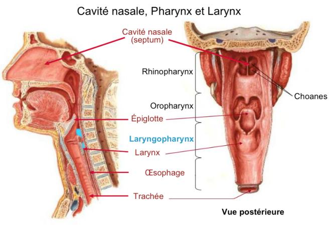 (via Pixelmator) Nasal cavity, Pharynx and Larynx - PowerPoint PPT Presentation - nuri - SlideServe