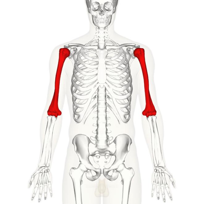 Emplacement de l'humérus (en rouge) dans le bras - Anatomography - Wikimedia Commons
