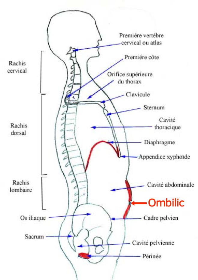 (via pixelmator) Anatomie de base du tronc - Médecine et santé - medecine2futur.blogspot.com