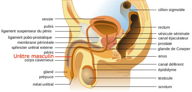 (via pixelmator) Anatomie de l'appareil génital masculin - Tsaitgaist - Bibi Saint-Pol - Wikimedia Commons