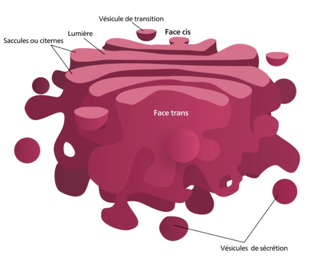 Schéma d'un appareil de Golgi. - Hawk-Eye - Wikimedia Commons