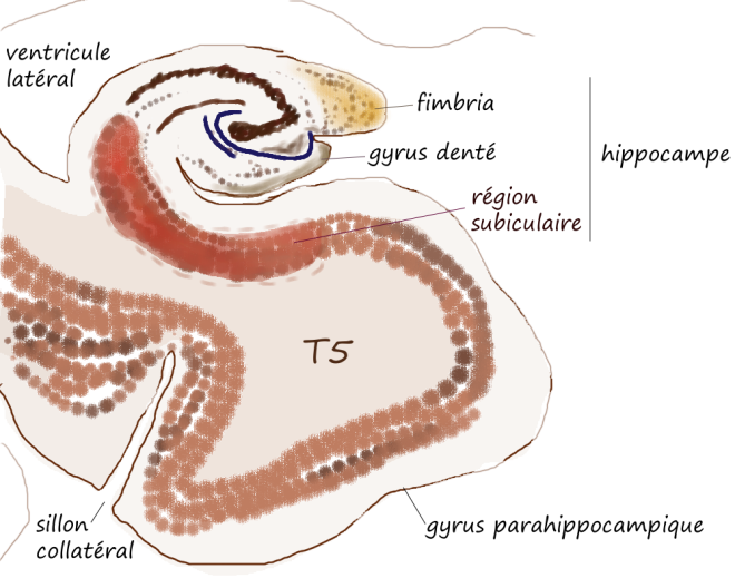 Hippocampe et aires associées - Pancrat - Wikibooks