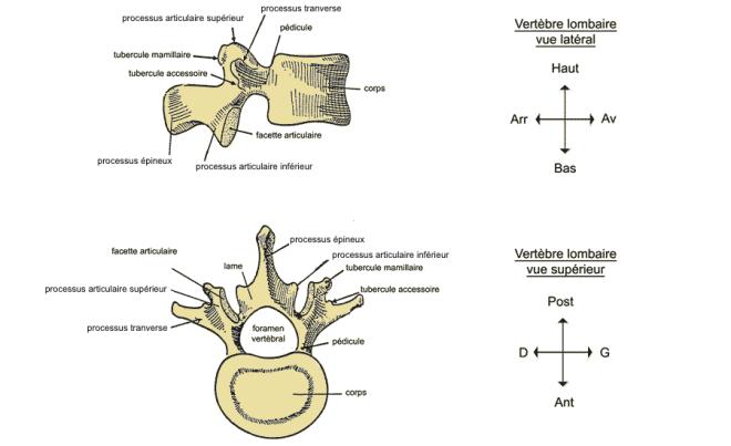 (via pixelmator) vertèbre lombaire - Anatomie générale du corps humain : squelette et muscles - EM