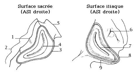 ARTICULATIONS SACRO-ILIAQUES - ARTICULATIONS DU BASSIN - C. Guionnet
