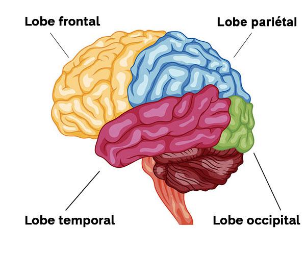 Lobes du cerveau - Ecosia images