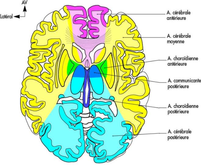Territoires artériels (coupe axiale passant par les deux bras de la capsule interne) - Encéphale - Lavoisier-Unbound