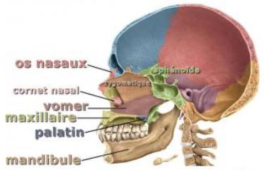 Vomer - Les os du crâne - aquaportail.com
