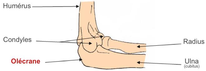 (via pixelmator) olécrane anatomie - Google Images