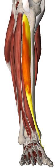 tibial antérieur - ANATOMIE 101 - MEMRiSE
