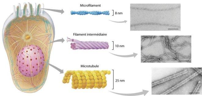 Figure 14- uploaded by Julien Balzeau - Représentation schématique du cytosquelette dans une cellule … - researchgate.net