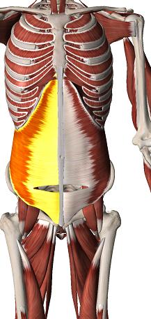 transverse de l'abdomen - ANATOMIE 101 - MEMRiSE