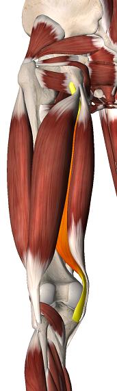 semi-membraneux - ANATOMIE 101 - MEMRiSE