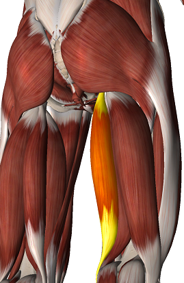semi-tendineux - ANATOMIE 101 - MEMRiSE