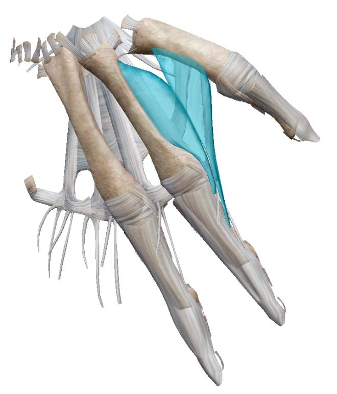 Premier interosseux dorsal à droite (main) - Muscle - Visible Body