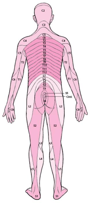 Dermatomes - LE MANUEL MSD